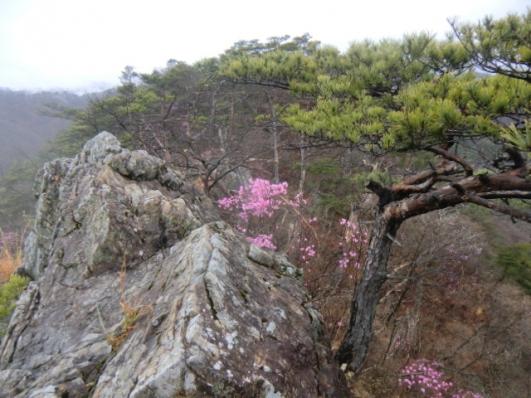 岩峰にアカヤシオ