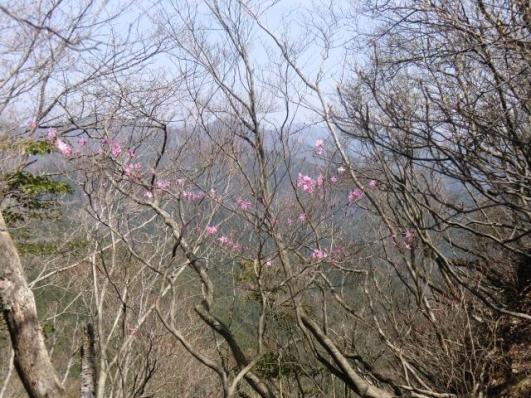 仁田山岳のアカヤシオ1
