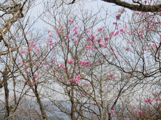 仁田山岳からの下山路に咲くアカヤシオ