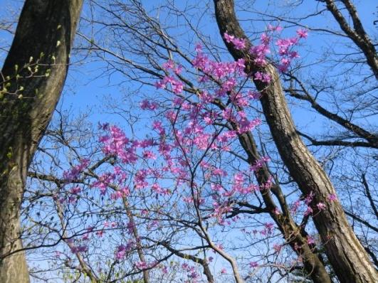 稜線に咲くアカヤシオ