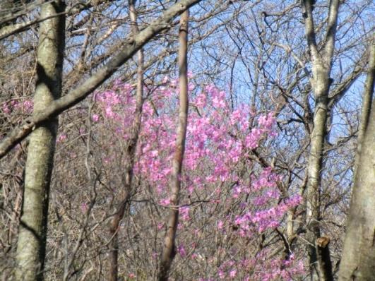 樹間にアカヤシオ
