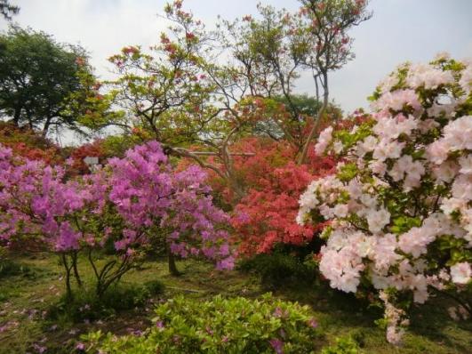 咲き乱れるツツジ