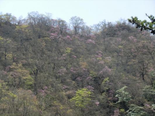 向かいの尾根筋もピンク色