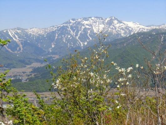 タムシバと八海山