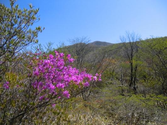 荒山高原に咲くミツバツツジ
