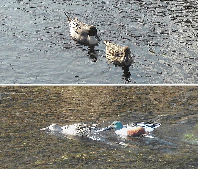 1502_21_オナガオシビロ鴨