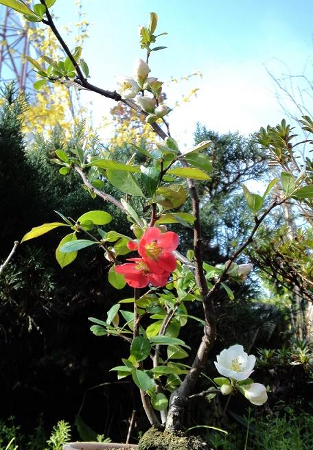木瓜の花開花 (2)