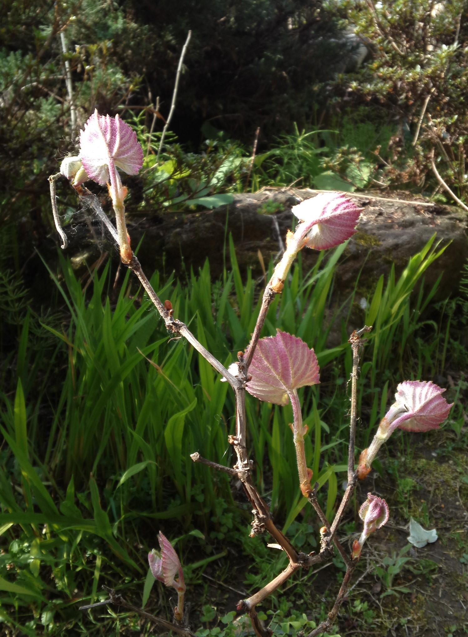 ピンクの葉 (1)