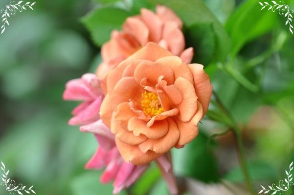 ミニバラ・テディベア開花 2015・5月11日