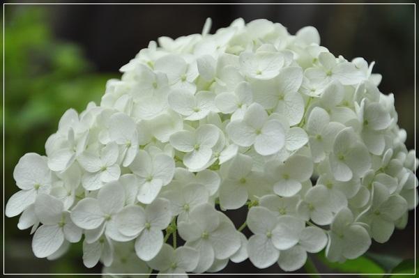 アナベル開花 2015・6月8日 (2)