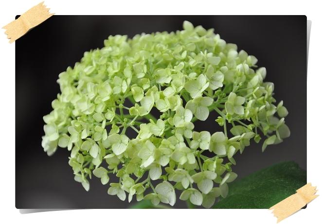 アナベル開花 2015・6月8日 (3)
