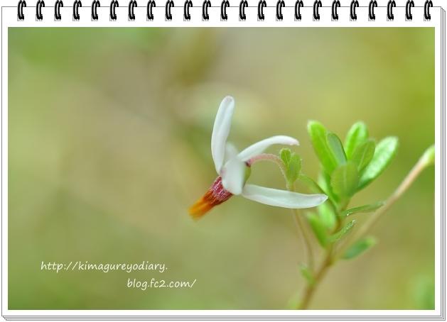 クランベリー開花 2015・5月19日