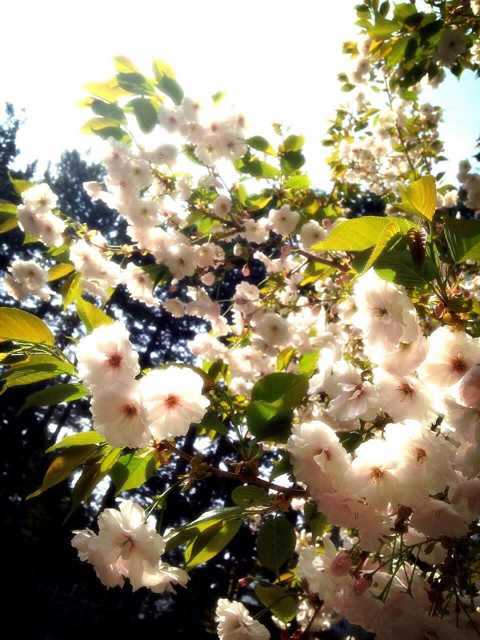 H27.5.11 八重桜