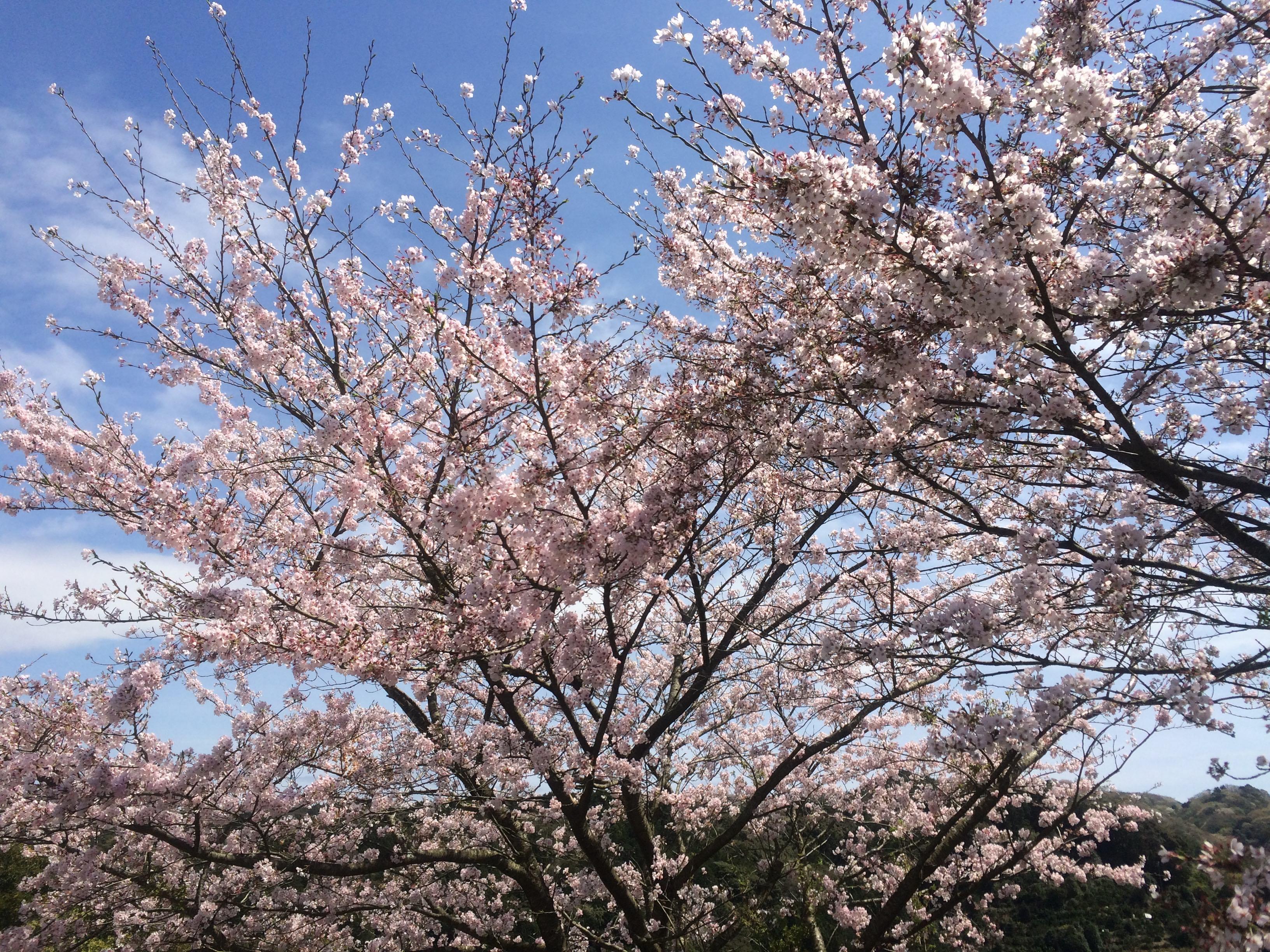 桜IMG_7639 のコピー