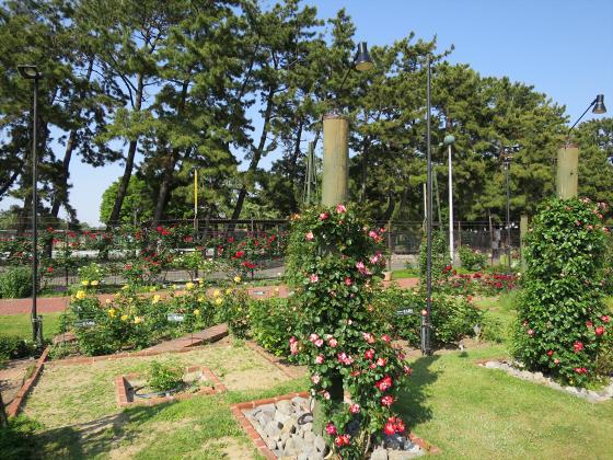 浜寺公園のフリマやバラ園22