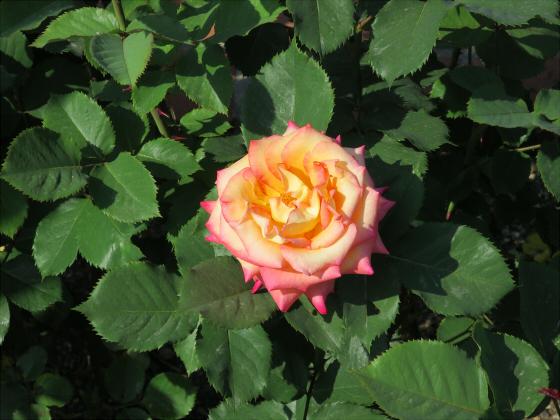 浜寺公園のフリマやバラ園24