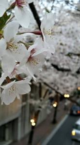 赤坂桜坂の桜