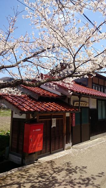 凱旋桜2015④