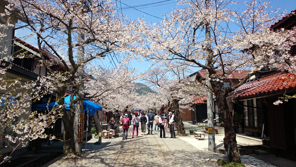 凱旋桜2015③