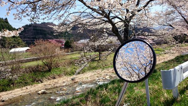 凱旋桜2015⑩