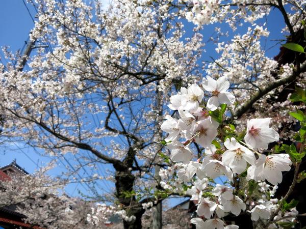 凱旋桜2015⑥