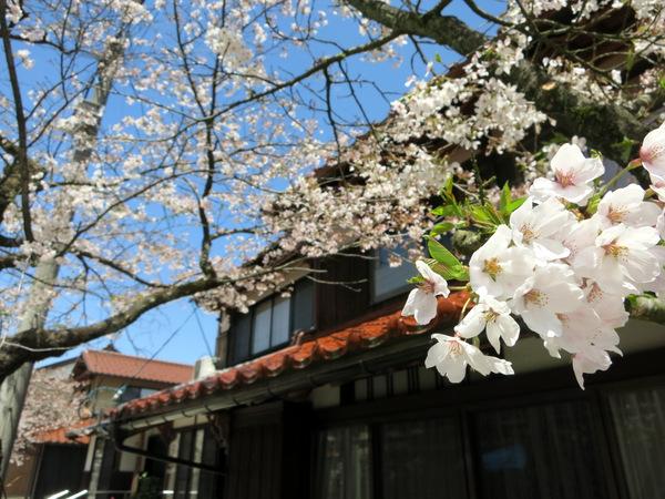 凱旋桜2015⑧