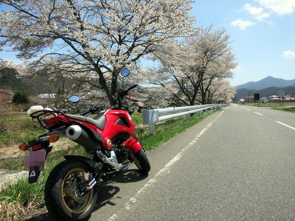 凱旋桜2015⑨