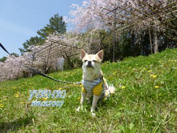 yuruiro20150422_k003
