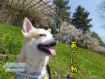 yuruiro20150422_k004