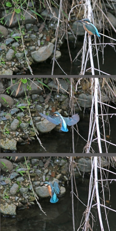 0629_幼鳥カワセミの餌獲り 1