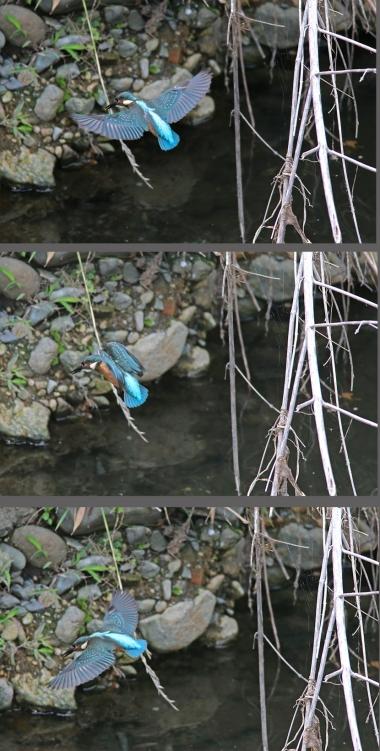 0629_幼鳥カワセミの餌獲り 2