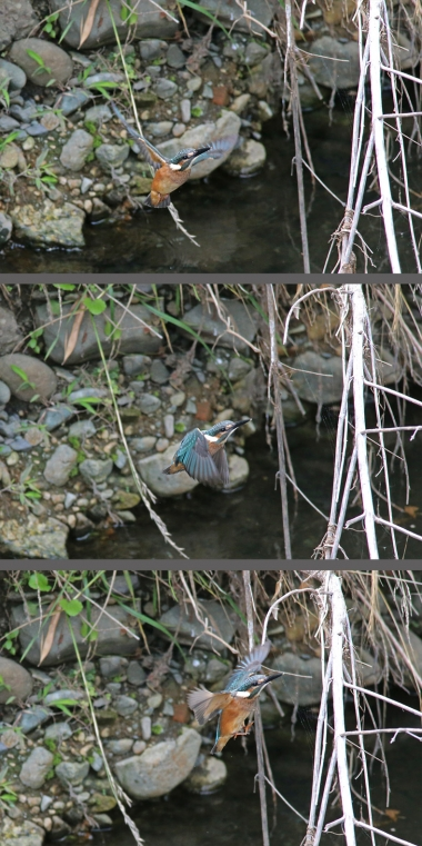 0629_幼鳥カワセミの餌獲り 3