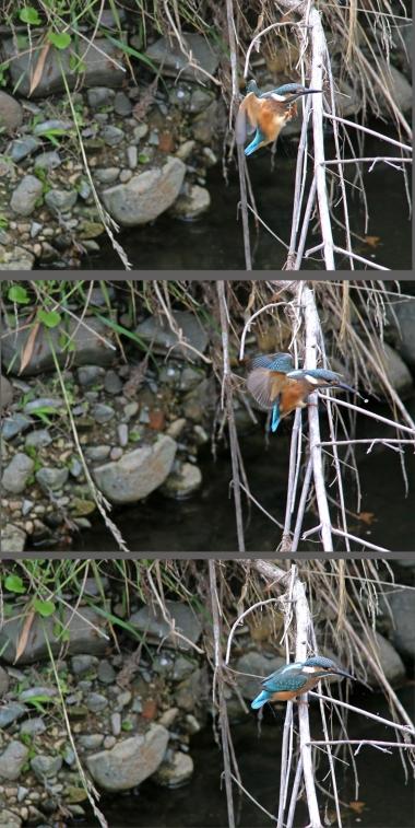 0629_幼鳥カワセミの餌獲り 4