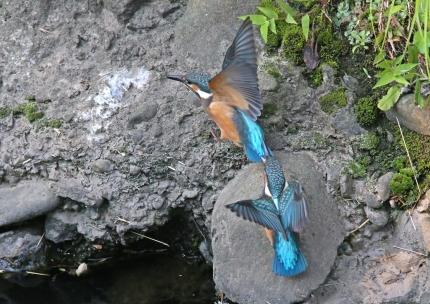 0629_幼鳥カワセミの餌獲り 8