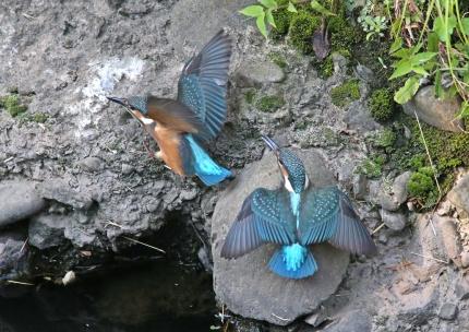 0629_幼鳥カワセミの餌獲り 9
