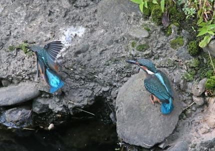 0629_幼鳥カワセミの餌獲り 10