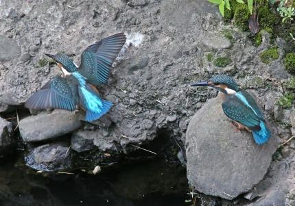 0629_幼鳥カワセミの餌獲り 11