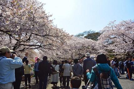 お花見2015_002