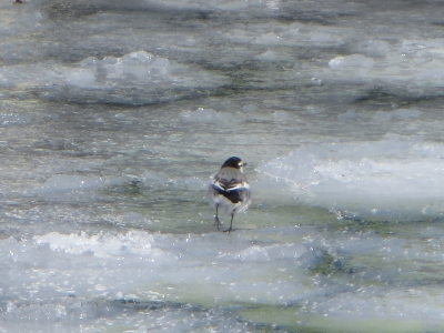 氷の上のハクセキレイ