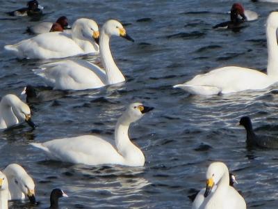 諏訪湖の白鳥