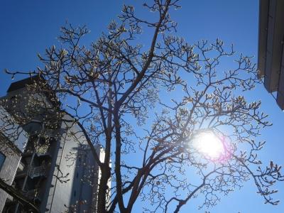 モクレンと午後の太陽