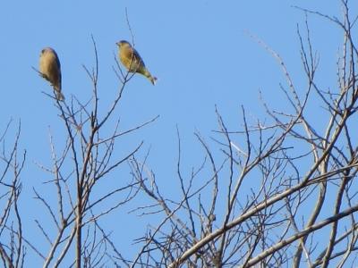 2月に2羽のカワラヒワ