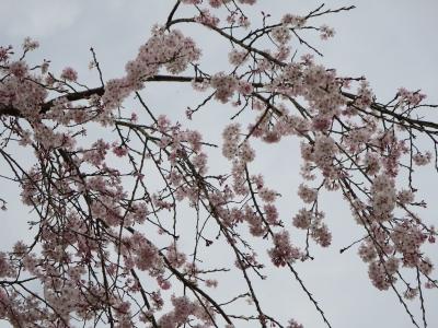 飯山グランドの桜 1