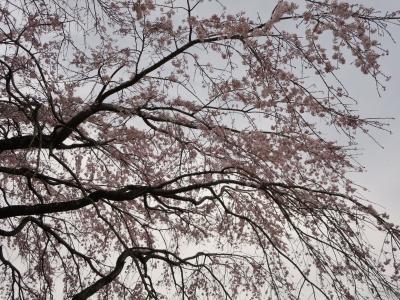 飯山グランドの桜 2