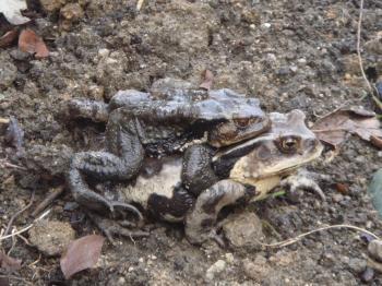冬眠から目覚めたいぼガエル