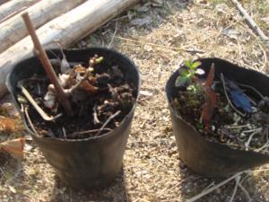 サルナシとブラックベリーの苗