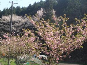 すげの里の八重桜並木