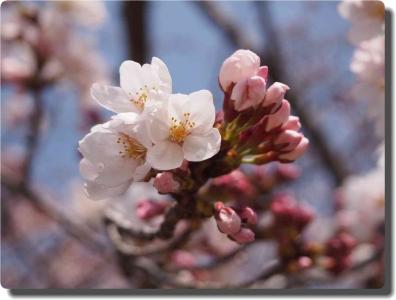 mini_33_sakura_P3302688.jpg