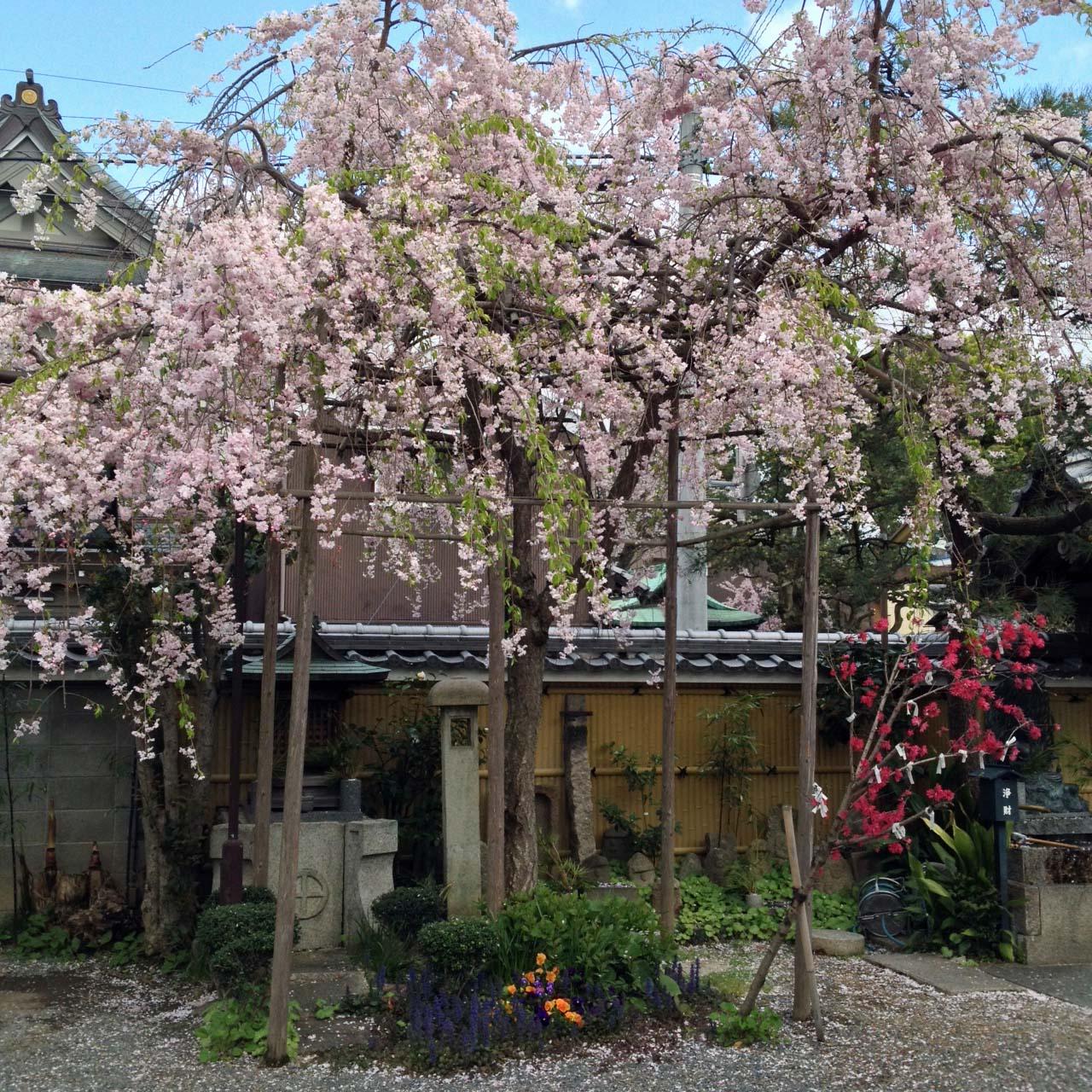 大黒寺の桜