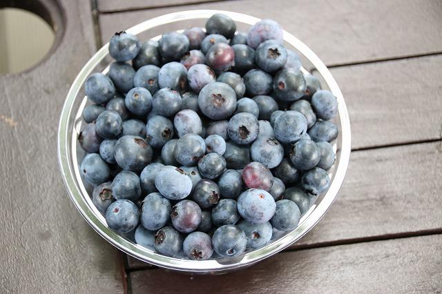 収穫ブルーベリー